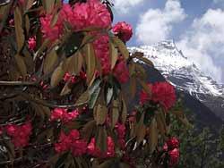 Непал. Рододендроны