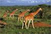 Сафари-тур в Кению с пляжным отдыхом