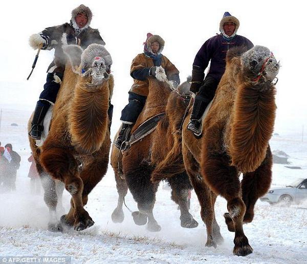 Монголия. Плачущая верблюдица