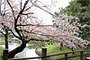 Тур Цветение сакуры в Южной Корее
