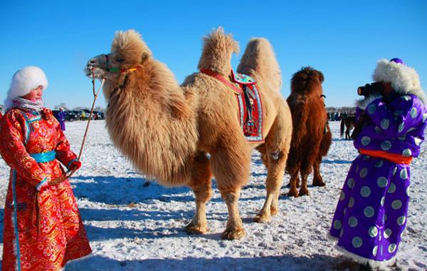 Монголия. Фестиваль верблюдов