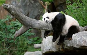 Тур в Китай. Панды